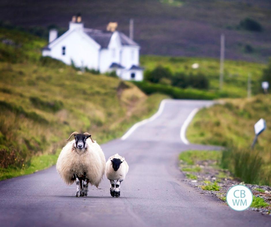 Sheep walking down road
